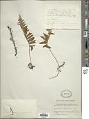 view Goniophlebium niponicum (Mett.) Bedd. digital asset number 1