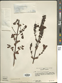 view Lamourouxia sylvatica Kunth digital asset number 1