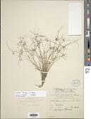 view Cyperus fugax Liebm. digital asset number 1