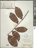 view Calycolpus revolutus (Schauer) O. Berg digital asset number 1