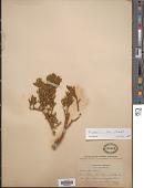 view Phoradendron bolleanum var. densum (Torr. ex Trel.) Fosberg digital asset number 1