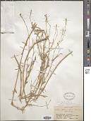 view Silene bupleuroides L. digital asset number 1
