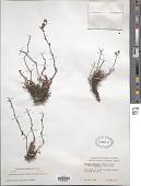 view Dudleya attenuata (S. Watson) Moran digital asset number 1