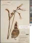 view Eucrosia aurantiaca (Baller) Pax digital asset number 1