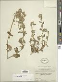 view Blumea mollis (D. Don) Merr. digital asset number 1