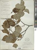 view Viburnum lobophyllum digital asset number 1