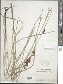 view Rhynchospora marisculus Lindl. & Nees digital asset number 1