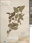view Malvaviscus arboreus var. arboreus Cav. digital asset number 1
