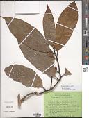 view Magnolia liliifera Baill. digital asset number 1