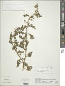 view Solanum agrarium Sendtn. digital asset number 1