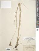 view Carex extensa Gooden. digital asset number 1