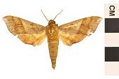view Azalea Sphinx, Azalea Sphinx Moth digital asset number 1