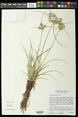 view Cyperus entrerianus Boeckeler digital asset number 1