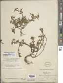 view Stylosanthes guianensis (Aubl.) Sw. digital asset number 1