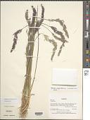 view Agrostis magellanica Lam. digital asset number 1
