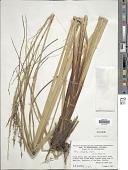 view Carex chordalis Liebm. digital asset number 1