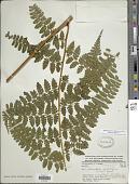 view Dennstaedtia globulifera (Poir.) Hieron. digital asset number 1