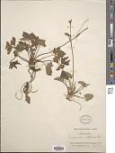 view Ranunculus diffusus DC. digital asset number 1