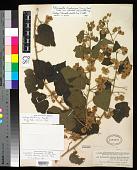 view Robinsonella edentula Rose & Donn. Sm. in Donn. Sm. digital asset number 1