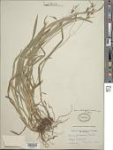 view Carex hirtifolia Mack. digital asset number 1
