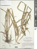 view Scirpus georgianus R.M. Harper digital asset number 1