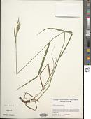 view Bromus carinatus Hook. & Arn. digital asset number 1