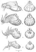 view Gasteranthus lateralis digital asset number 1