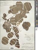 view Pterocarpus brenanii Barbosa & Torre digital asset number 1