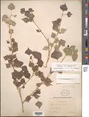 view Populus fremontii S. Watson subsp. fremontii digital asset number 1