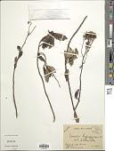 view Hubertia hypargyrea (DC.) C. Jeffrey digital asset number 1