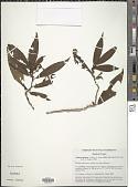 view Triolena spicata (Triana) L.O. Williams digital asset number 1