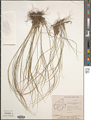 view Tripogon capillatus Jaub. & Spach digital asset number 1