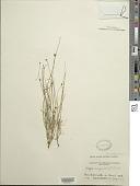 view Krigia virginica (L.) Willd. digital asset number 1
