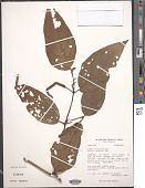 view Piper prunifolium Jacq. var. prunifolium digital asset number 1