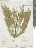 view Rhipidocladum racemiflorum (Steud.) McClure digital asset number 1