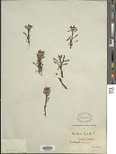 view Pedicularis hirsuta L. digital asset number 1