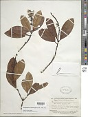 view Retiniphyllum schomburgkii (Benth.) Müll. Arg. digital asset number 1