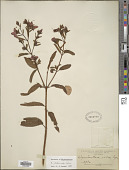 view Rhynchanthera verbenoides Cham. digital asset number 1