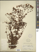 view Hypericum opacum Torr. & A. Gray digital asset number 1