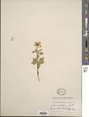 view Trollius laxus var. albiflorus A. Gray digital asset number 1