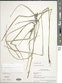 view Carex aureolensis Steud. digital asset number 1