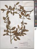 view Phoradendron tomentosum subsp. macrophyllum DC. digital asset number 1