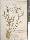 view Panicum rigidulum Bosc ex Nees var. rigidulum digital asset number 1