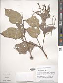 view Lithocarpus confertus Soepadmo digital asset number 1
