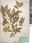 view Celtis occidentalis L. digital asset number 1