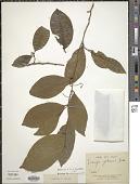view Irvingia gabonensis (Aubry-Lec. ex O'Rorke) Baill. digital asset number 1