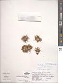 view Paepalanthus pilosus (Kunth) Kunth digital asset number 1