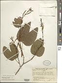 view Bauhinia tarapotensis Benth. in Mart. digital asset number 1