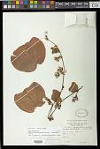 view Passiflora porphyretica var. angustata Killip digital asset number 1
