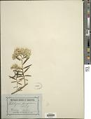 view Ozothamnus ferrugineus (Labill.) Sweet digital asset number 1